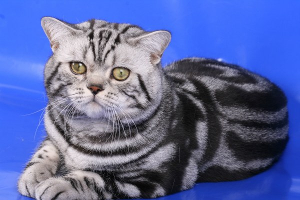 британский мраморный кот