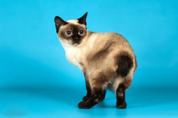 Скиф-тайн-дон кошка