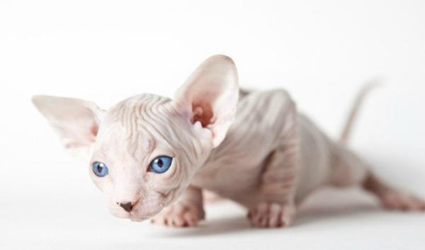 название породы лысых кошек