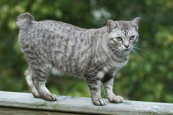 кошка с коротким хвостом
