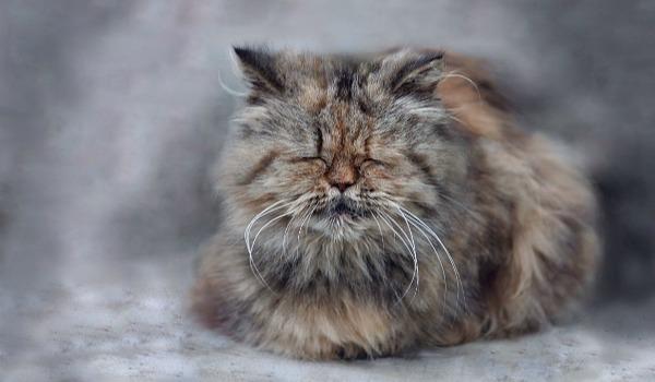старая кошка