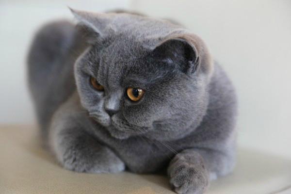 кошка леди
