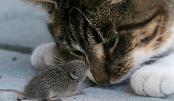 кошка играется с мышью