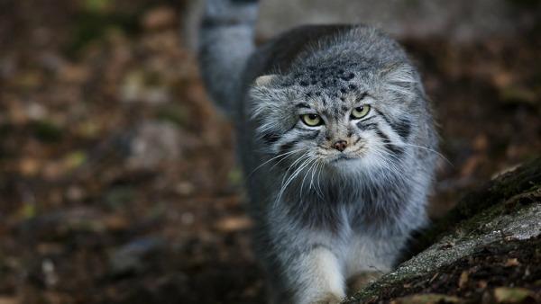 тибетский кот манул