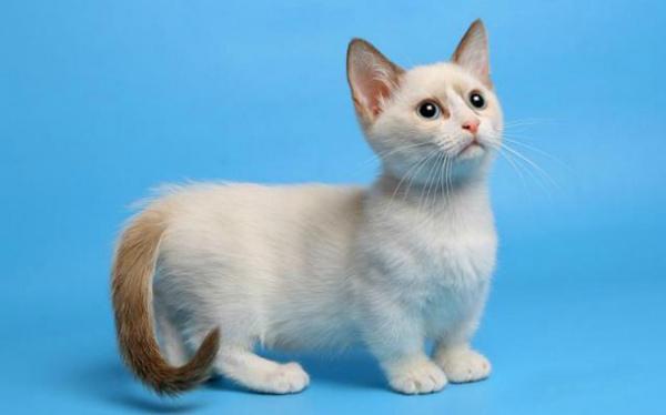 кошка Лэмкин