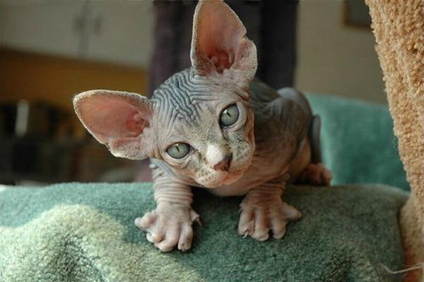 лысый котенок