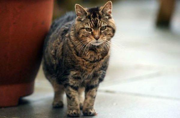старая британская кошка люси