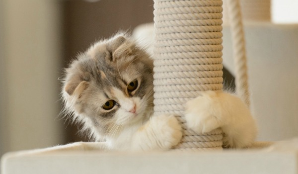котенок у когтеточки