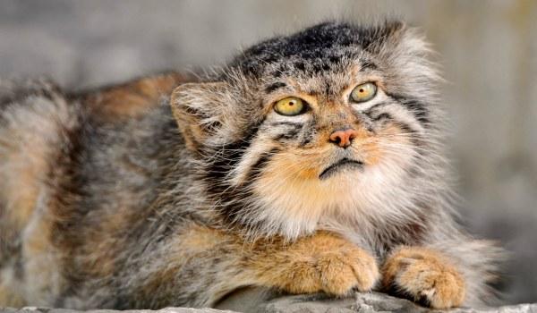Среднеазиатский рыжий кот манул