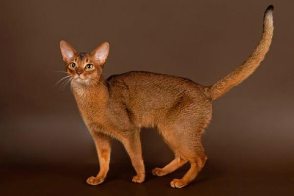 фото абиссинского кота
