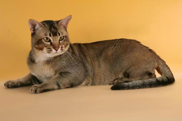 азиатская табби кошка