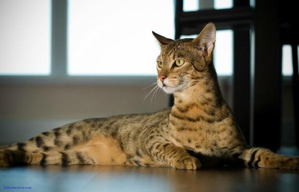 внешность кошки ашеры