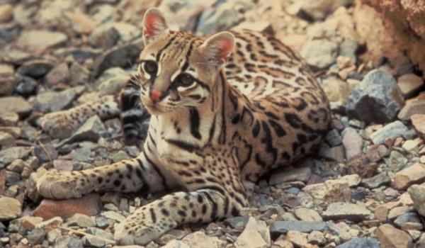 азиатская кошка в горах