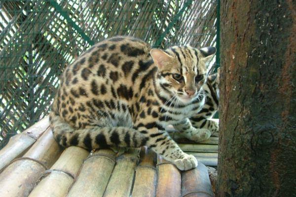 азиатская кошка в вольере