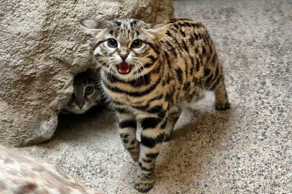 азиатские котята