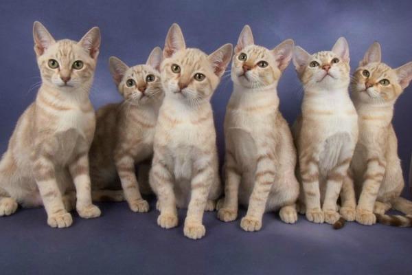 6 австралийских дымчатых котят