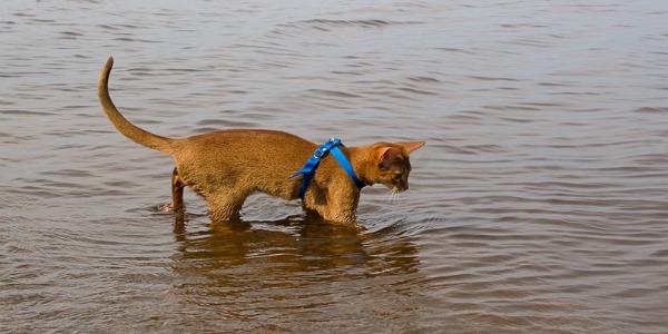 абиссинская кошка купается