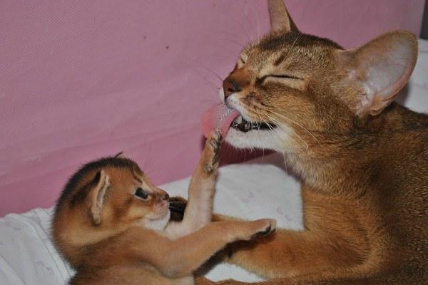 абиссинская кошка с котенком