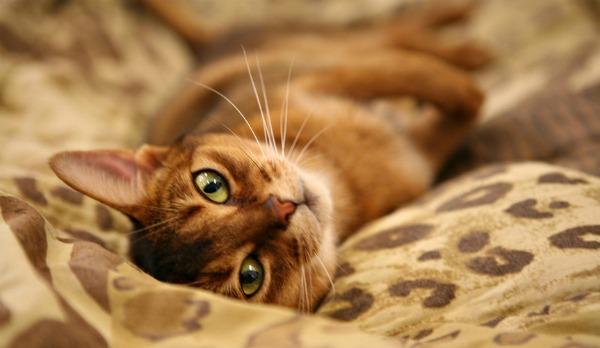 абиссинский кот отдыхает