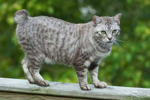 American-Bobtail-Cat