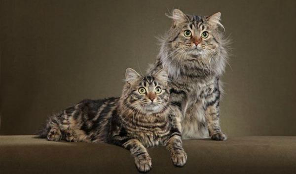American-Bobtail-Cats