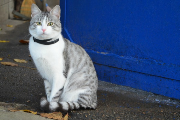 Animals___Cats_Collar_in_the_Arabian_Mau_092040_29[1]