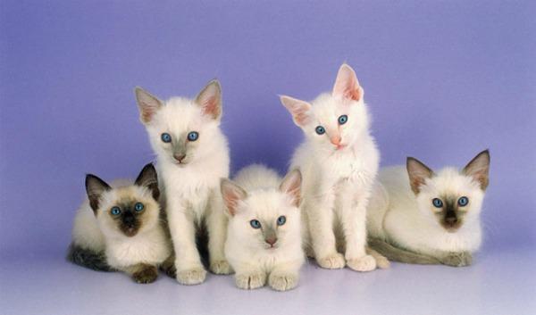 котята балинеза