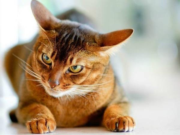 агрессивный абиссинская кошка