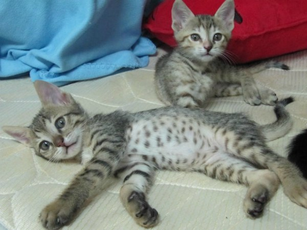 аравийский мау котята
