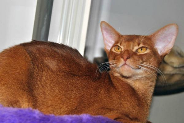 абиссинская кошка окрас сорель