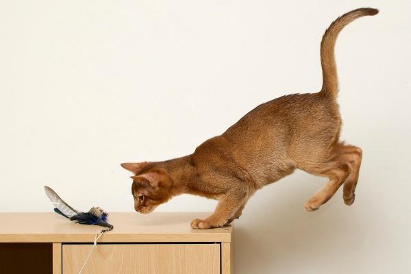 абиссинская кошка играется