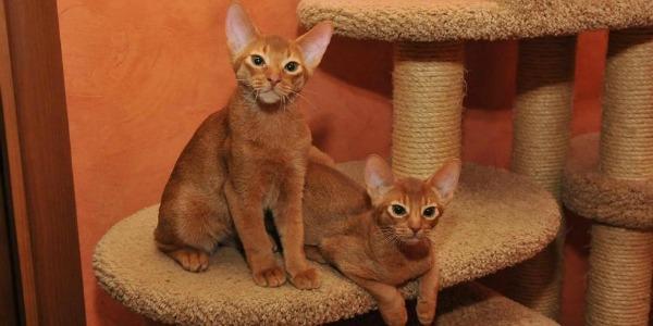 домик для абиссинской кошки