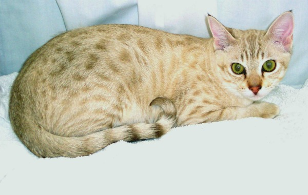 закругленный хвост у австралийской кошки
