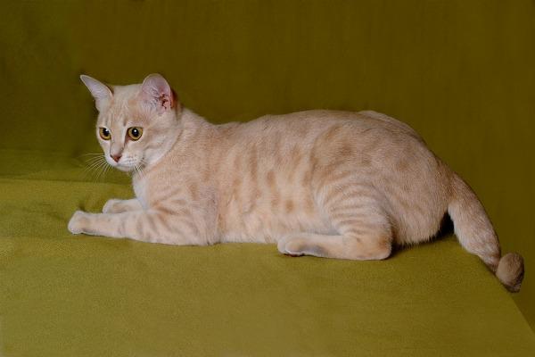 фото австралийской дымчатой кошки