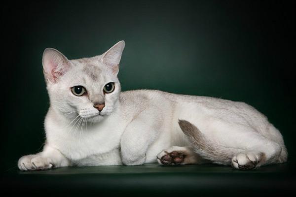 азиатская кошка дымчатого окраса