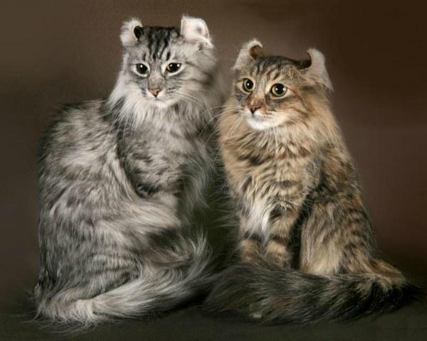 две кошки американский керл