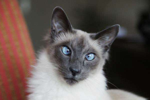 косоглазие у балинезийской кошки