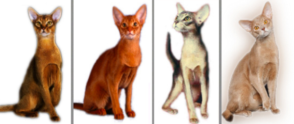 Дикий окрас абиссинской кошки
