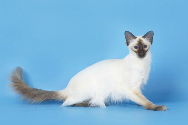 порода балинезийской кошки