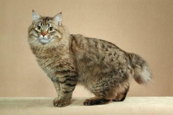 фото кошки американский бобтейл