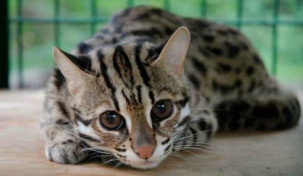 фото азиатской леопардовой кошки