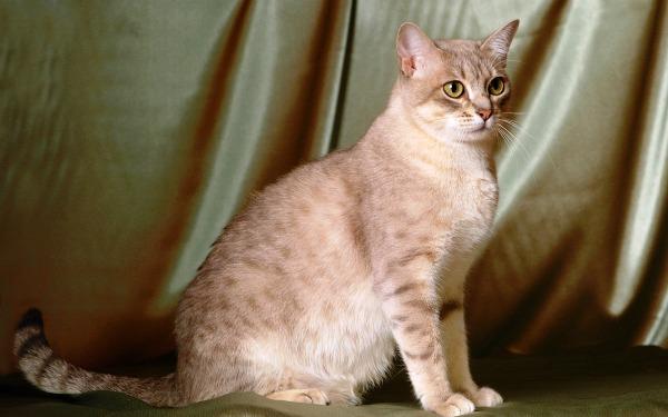 Кошка австралийская мист