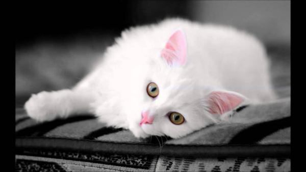анатолийский котенок