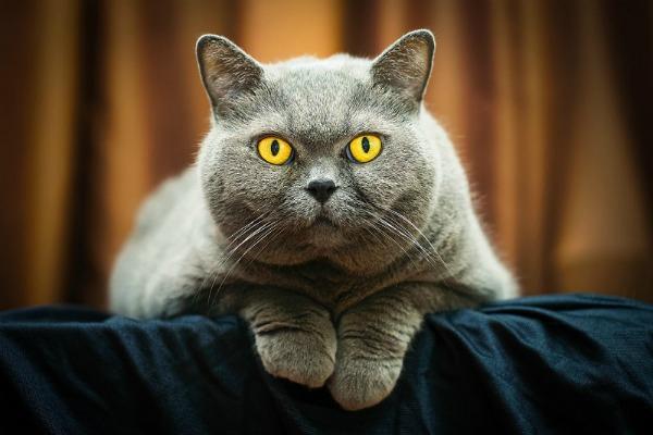 британская кошка наблюдает