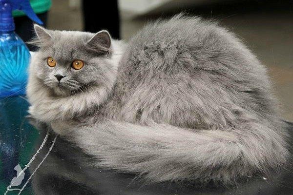 британская кошка дымчатый окрас