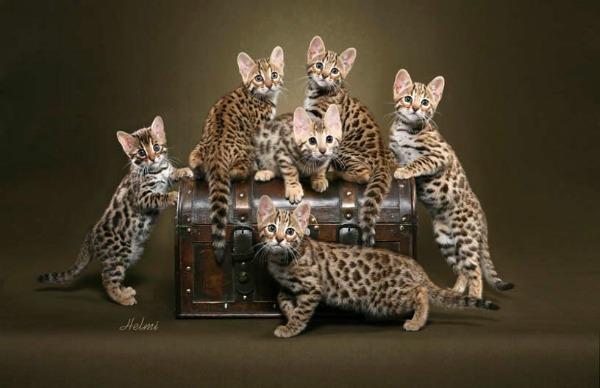 много бенгальских котят