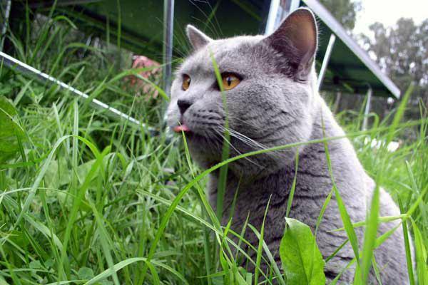 британская кошка на улице