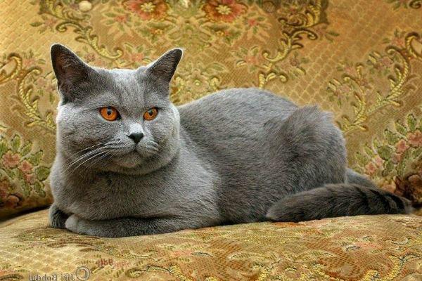 кот британец отдыхает