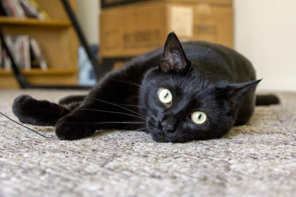 фото бомбейской кошки
