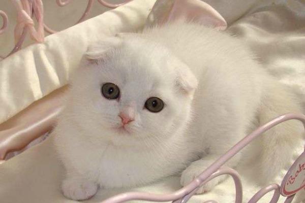 британский вислоухий котенок белый